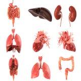 Menschlicher genauer Satz der inneren Organe anatomisch Wiedergabe 3d lizenzfreie abbildung
