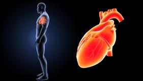 Menschlicher Herzzoom mit Körperseitenansicht Lizenzfreies Stockbild