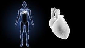Menschlicher Herzzoom mit Körpervorderansicht Stockfotografie