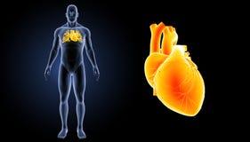 Menschlicher Herzzoom mit Körpervorderansicht Stockbilder