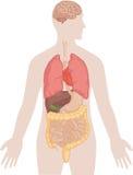 Menschlicher Körper-Anatomie - Gehirn, Lungen, Herz, Leber, Därme Lizenzfreie Stockfotografie