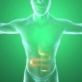 Menschlicher Körper durch Röntgenstrahlen, Verdauungssystem Stockfotos