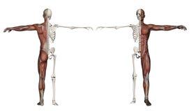 Menschlicher Körper eines Mannes mit den Muskeln und dem Skelett Stockbild