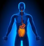 Medizinische Darstellung - männliche Organe - Eingeweide Lizenzfreies Stockbild