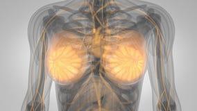 Menschlicher Körper-Milch- Drüsen-Scan stock abbildung