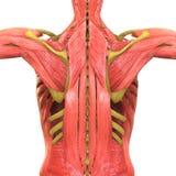 Menschlicher Körper mischt Anatomie mit Stockfotos