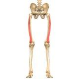 Menschlicher Körper mischt Anatomie mit (Vastus Lateralis) lizenzfreie abbildung