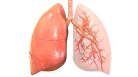 Menschlicher Körper-Organ-Atmungssystem-Lunge-Anatomie vektor abbildung