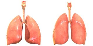 Menschlicher Körper-Organ-Atmungssystem-Lunge-Anatomie stock abbildung