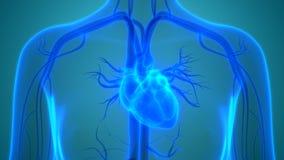 Menschlicher Körper-Organ-Herz-Kreislauf-System mit Herz-Anatomie lizenzfreie abbildung