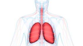 Menschlicher Körper-Organ-Lungen mit Nervensystem-Anatomie vektor abbildung
