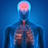 Menschlicher Körper-Organ-Lungen und Gehirn stock abbildung