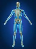 Menschlicher Körper und Skelett lizenzfreie abbildung
