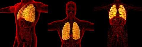 Menschlicher Lungenflügel Stockfotos