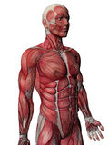 Menschlicher Muskel-Röntgenstrahl-Kasten Stockfotografie