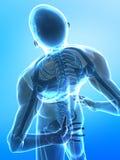 Menschlicher Röntgenstrahldorn Lizenzfreie Stockbilder