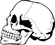 Menschlicher Schädel Stockbilder