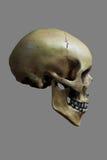 Menschlicher Schädel auf 50% Gray Background Lizenzfreies Stockbild