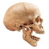Menschlicher Schädel getrennt Stockfotografie