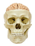 Menschlicher Schädel mit Gehirn Stockfotografie