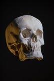 Menschlicher Schädel, Replik vom wirklichen Modell lizenzfreies stockfoto
