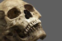 Menschlicher Schädelknochen Stockbild