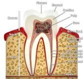 Menschlicher Zahnquerschnitt (Modell 3d) Lizenzfreie Stockbilder