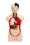 Menschliches Anatomiebaumuster Lizenzfreies Stockbild