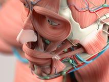 Menschliches Anatomiedetail des Gesichtes, Backenknochen muskel Auf einfachem Studiohintergrund Stockfotos