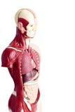 Menschliches Anatomiemodell benutzt im Gesundheitswesen lizenzfreie stockfotografie