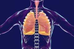 Menschliches Atmungsschattenbild des systems, der Lungen, der Trachea, des Kehlkopfes und des männlichen Körpers mit dem Skelett Stockfotografie
