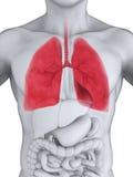 Menschliches Atmungssystem Stockfoto