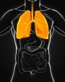 Menschliches Atmungssystem Stockfotos