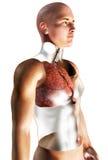 menschliches Atmungssystem 3d Stockbilder