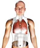 menschliches Atmungssystem 3d Stockbild