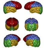 Menschliches Gehirn Stockfotografie