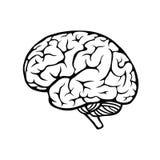 Menschliches Gehirn Stockbild