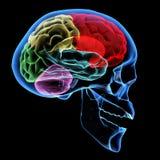 Menschliches Gehirn vektor abbildung