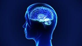Menschliches Gehirn stockbilder