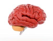 Menschliches Gehirn auf Weiß Stockfotografie
