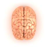 Menschliches Gehirn, Draufsicht Stockbilder