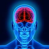 Menschliches Gehirn und Scull Stockfotografie