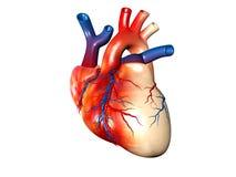 Menschliches Herz stockfoto