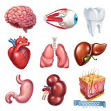Menschliches Herz, Gehirn, Auge, Zahn, Lungen, Leber, Magen, Niere, Haut Ikonensatz des Vektors 3d Stockfotos