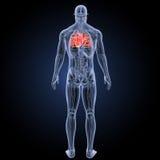 Menschliches Herz mit Anatomierückansicht Stockfotografie