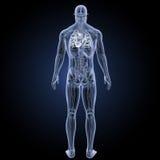 Menschliches Herz mit Anatomierückansicht Lizenzfreie Stockfotos