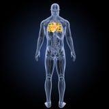 Menschliches Herz mit Anatomierückansicht Stockbilder