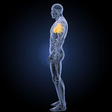 Menschliches Herz mit Anatomieseitenansicht Lizenzfreies Stockbild