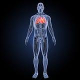 Menschliches Herz mit Anatomievorderansicht Stockbild
