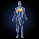 Menschliches Herz mit Anatomievorderansicht Stockfotos
